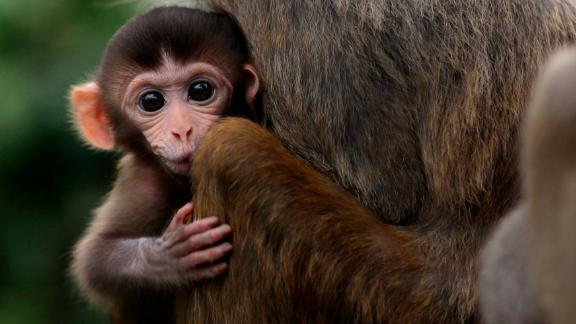 A baby rhesus macaque monkey looks out from the arms of its mother in Hong Kong on July 17, 2011. Released in the First World War during construction of the Kowloon reservoir, it was hoped that the monkeys would eat poisonous alkaloid plants surrounding the water which would otherwise contaminate the supply for humans. However, the poisonous strychnos plant is a natural food of the macaque, and the species is now widespread throughout the territory. AFP PHOTO / ED JONES (Photo credit should read Ed Jones/AFP/Getty Images)
