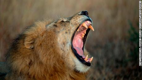 Serengeti National Park. Lion yawning, Panthera leo, Tanzania. (Photo by: BSIP/UIG via Getty Images)