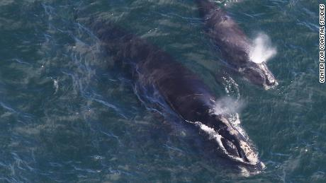 North Atlantic right whale EgNo 4180 and her calf are photographed by the Center for Coastal Studies' aerial survey team as they swim in Cape Cod Bay on April 11, 2019.