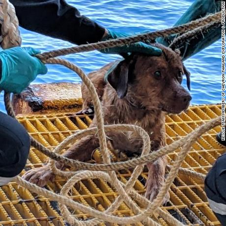 Photos of a dog rescued after being found swimming in the Gulf of Thailand - 220km from the shore. Workers onboard an oil rig noticed the dogs head poking out above the ripples as she paddled through the ocean last April 12 afternoon.