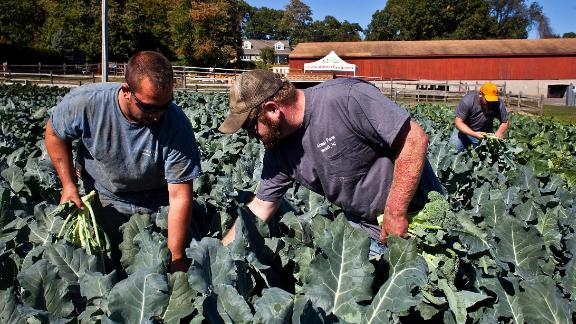 Darren Ehlers, (left) Jimmy Abma (center) and Josh Abma (right) cut heads of broccoli at Abma