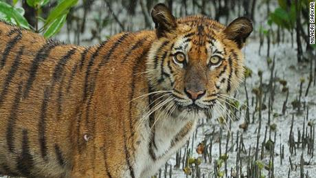 A Bengal tiger in the Sundarbans, the world's largest mangrove forest in India and Bangladesh.
