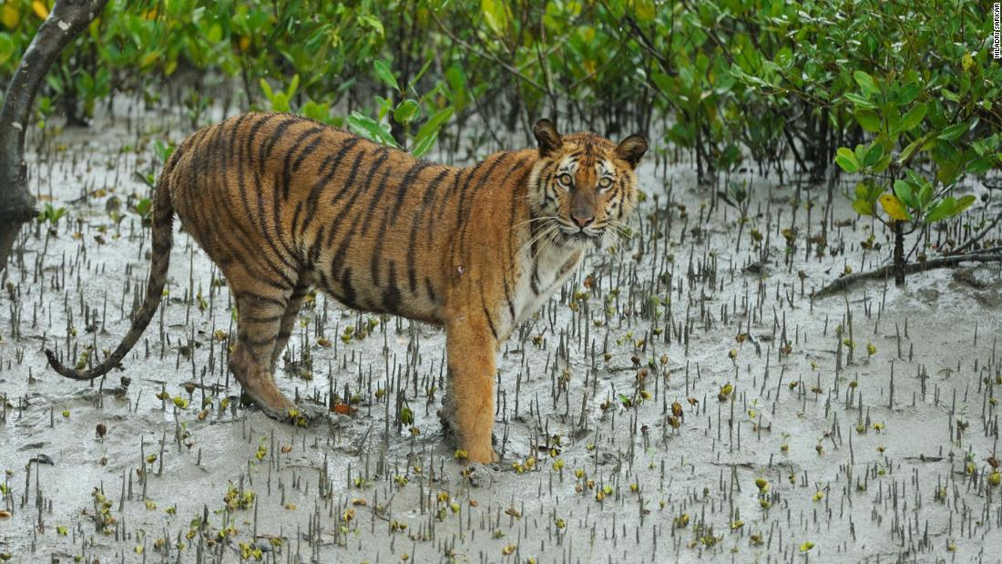 Bengal tigers could vanish from final stronghold