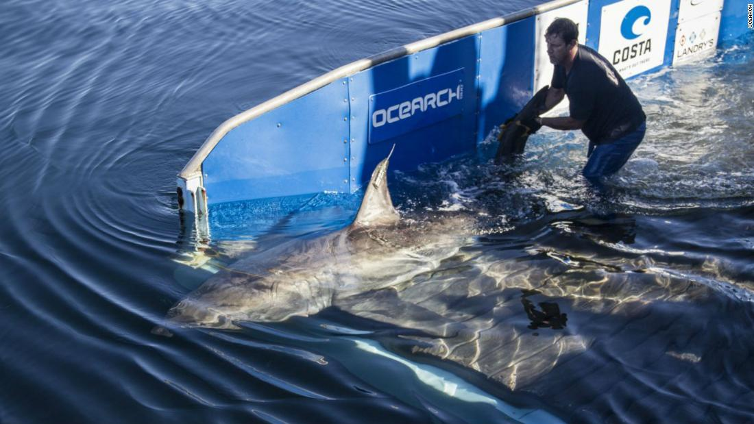 A 12-foot, 1,600-lb. great white shark has been located in the Gulf