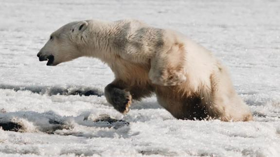 A polar bear was found wandering in the Russian village of Tilichiki on April 16, 700km from his home.