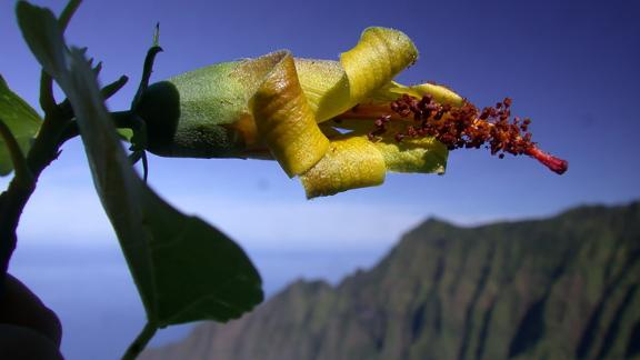 Thought to be extinct, the Hibiscadelphus woodii, was rediscovered on a cliff face by a drone.
