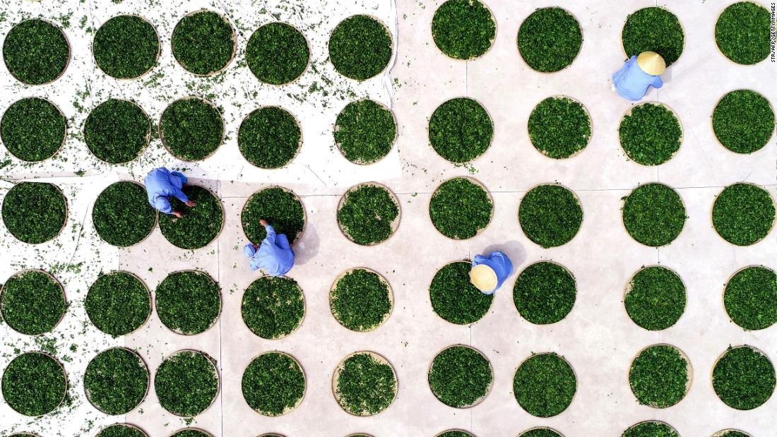 Farmers dry ginkgo leaves used to make ginkgo biloba tea at a tea field in China's eastern Shandong province on Monday, April 15.