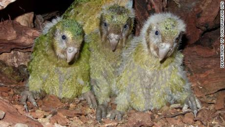 Three young kākāpō chicks, part of this year's historic kākāpō baby boom.