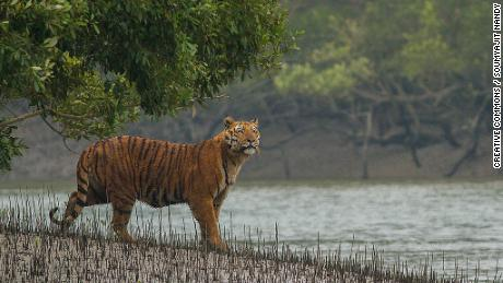 A Bengal tiger in the Sundarbans, which crosses India and Bangladesh.