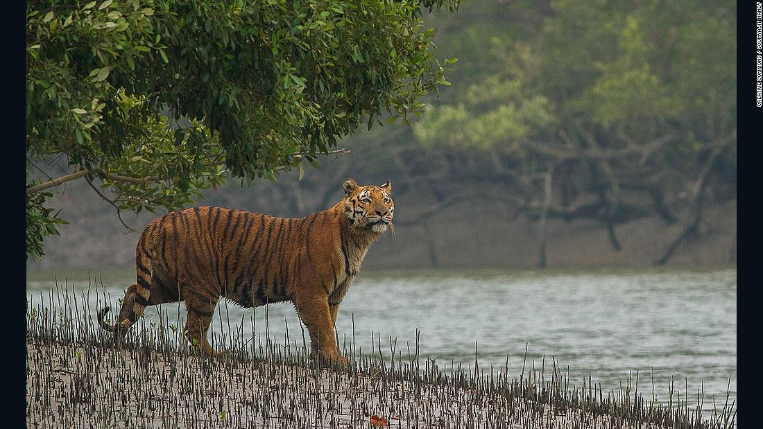 Bengal tigers could vanish from one of their final strongholds