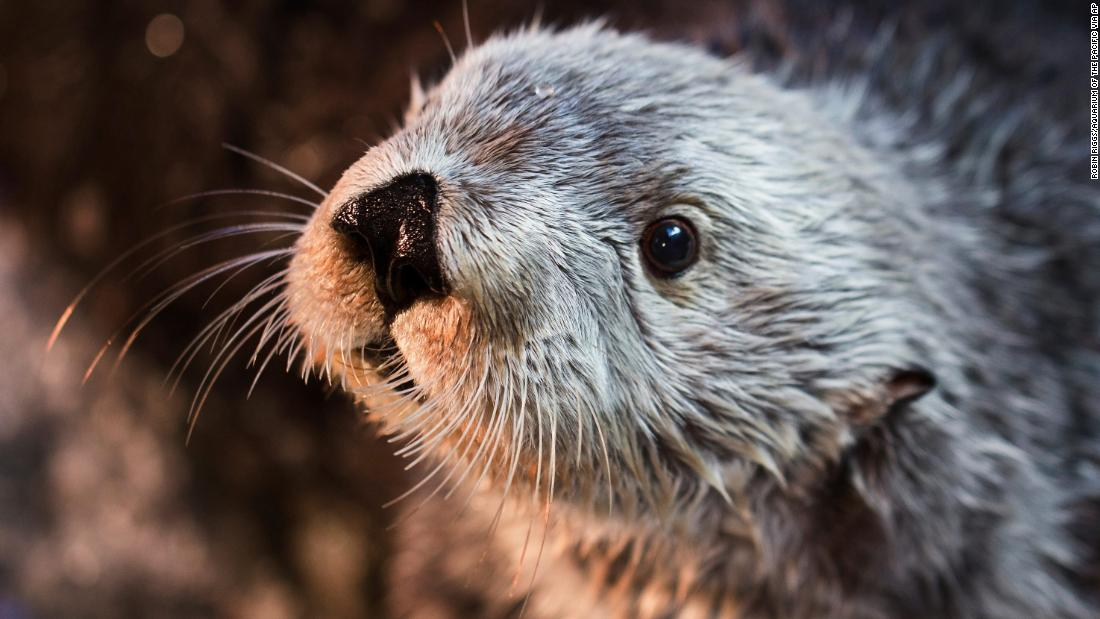 Charlie, the oldest sea otter at any zoo or aquarium, has died. What a life he had