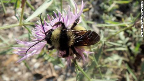 The American bumblebee is at risk of extinction in Canada, scientists say