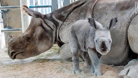 For the first time, a rare rhino was born by artificial insemination at the Miami zoo