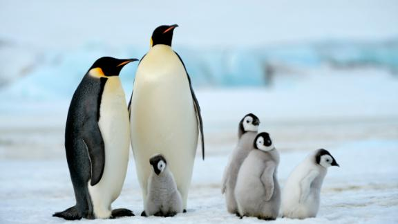 Emperor penguin adults and chicks on Snow Hill Island in Antarctica
