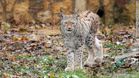 The already dwindling Balkan lynx population is under threat from habitat loss and poaching