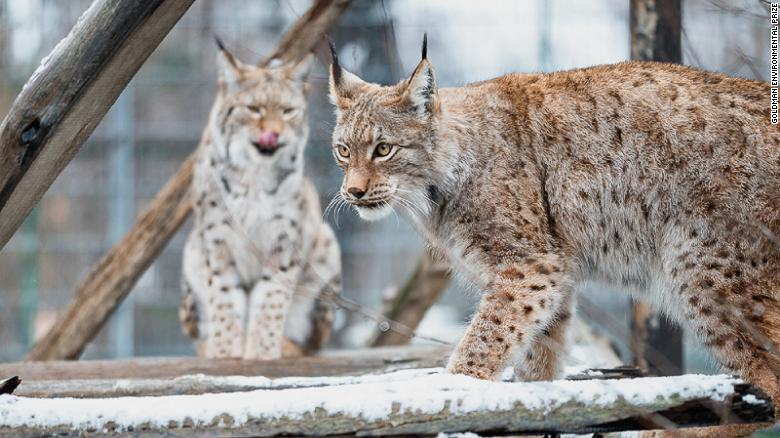 The majestic lynx is the national symbol of North Macedonia