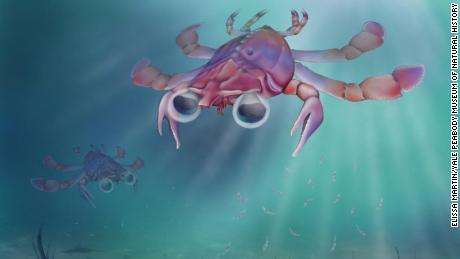 It's the size of a quarter, with big, bug eyes. And it's the strangest crab that ever lived
