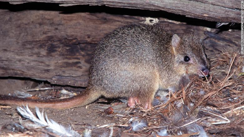 A rare burrowing bettong hides under a hollow log near Cygnet River on Kangaroo Island. Its species was driven to extinction on mainland Australia by foxes and feral cats.