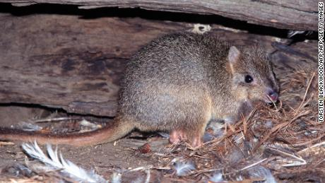 A rare tombstone hiding under a hollow tree trunk near the Cygnet River on Kangaroo Island. His species was driven to extinction on the Australian mainland by foxes and wildcats.
