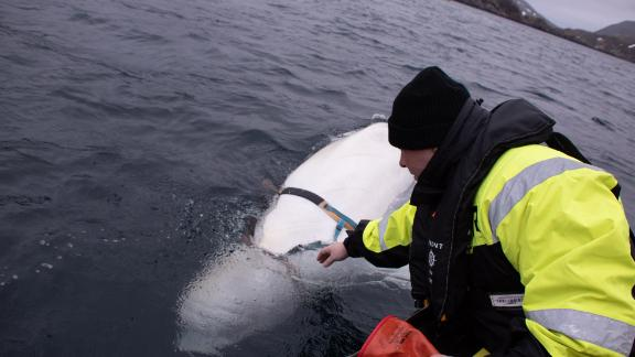 Marine experts say the beluga whale may have been trained by the Russian military.