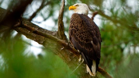CAMBRIDGE, MD - FEBRUARY 22:  A Bald Eagle is perched in a tree at the Blackwater National Wildlife Refuge on February 22, 2012 in Cambridge, MD. Blackwater National Wildlife Refuge on the Eastern Shore of Maryland in Cambridge, Md., was established in 1933 as a refuge for migratory birds. The vast 24,000 plus acre refuge is home to several species of wildlife including the American bald eagle which has made a comeback since being taken off the endangered species list in 2007. Migratory birds such as the Tundra Swan, and Snow Geese make stops at Blackwater during the winter months.