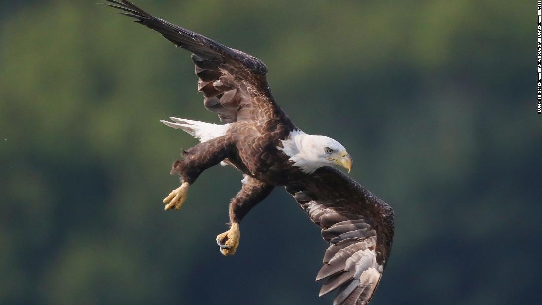 190503230838 bald eagle flying01 super tease