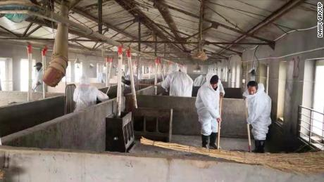 Virus prevention teams working at the sun farm of pigs after the outbreak, killed more than 15,000 of his animals by March 2019.
