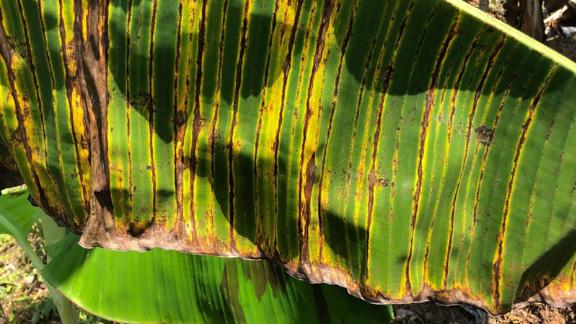 Dark streaks on a banana leaf caused by toxins released from the fungus.