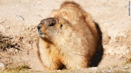 Mongolian marmots can transmit the plague to humans.
