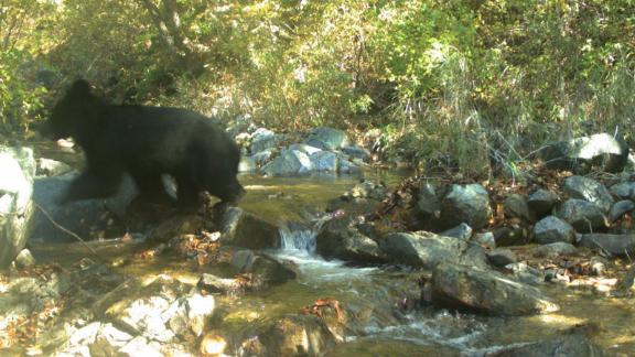 The endangered Asiatic black bear, caught on camera in the demilitarized zone.