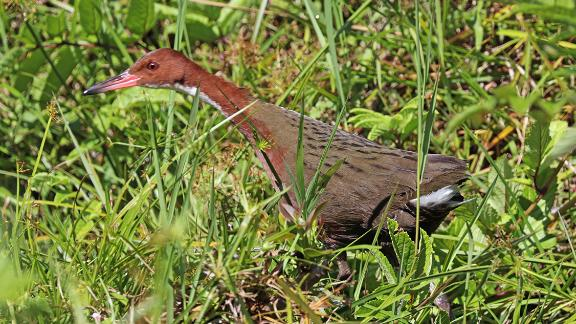 The white-throated rail colonized the Aldabra Atoll in the Indian Ocean -- twice.
