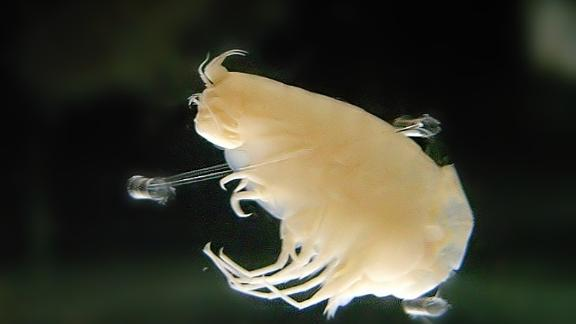 Hirondellea gigas is a type of crustacean that lives in the Mariana Trench.