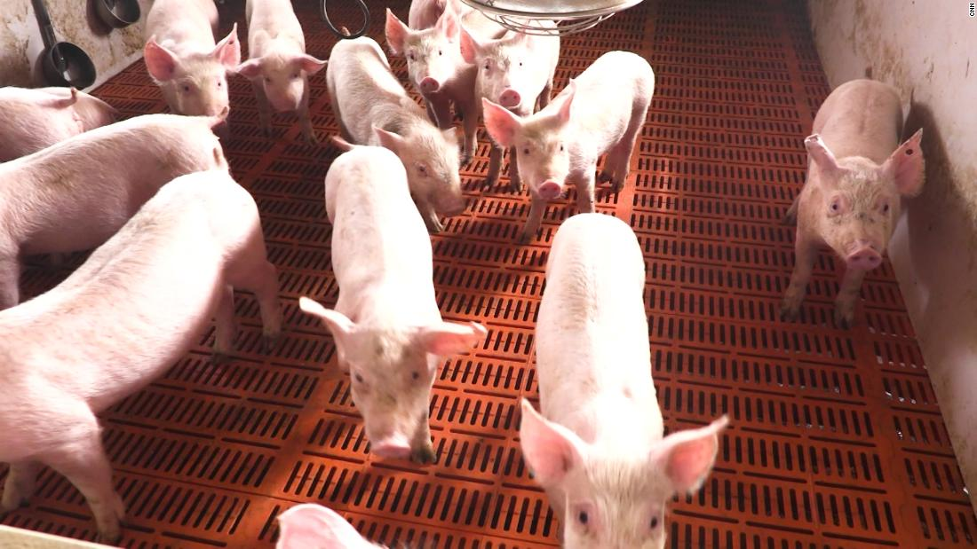 China's African swine fever is killing thousands of pigs