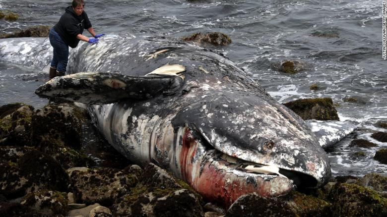 A dead gray whale is inspected on Tuesday in Pacifica, California.