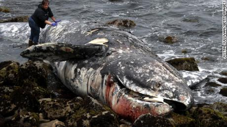 A dead gray whale is inspected Tuesday in Pacifica, California.