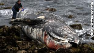 Mysterious surge in dead gray whales concerns scientists
