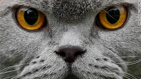 A British Shorthair cat looks into the camera at a preview event of the forthcoming cat and dog show in Dortmund, Germany, Friday, May 10, 2019. (AP Photo/Martin Meissner)