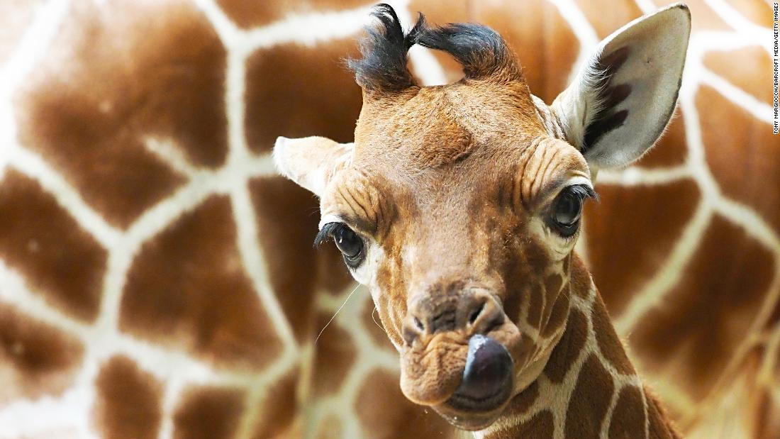 Khar, an 18-day-old reticulated giraffe, walks around a zoo in Whipsnade, England, on Monday, May 13. Reticulated giraffes, also known as Somali giraffes, are an endangered species.