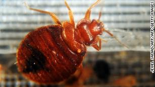Bedbugs are drawn to certain colors, study finds