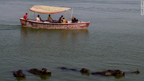 Cows bathe in the River Ganges in Varanasi.