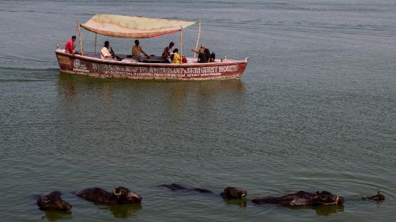Cows bathe in the River Ganges in Varanasi.