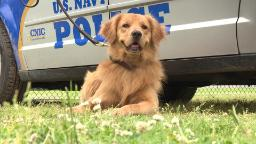 Meet Bud: The Navy's only golden retriever working dog