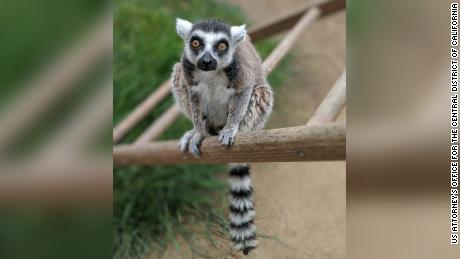 Isaac is believed to be North America's oldest ring-tailed lemur in captivity.