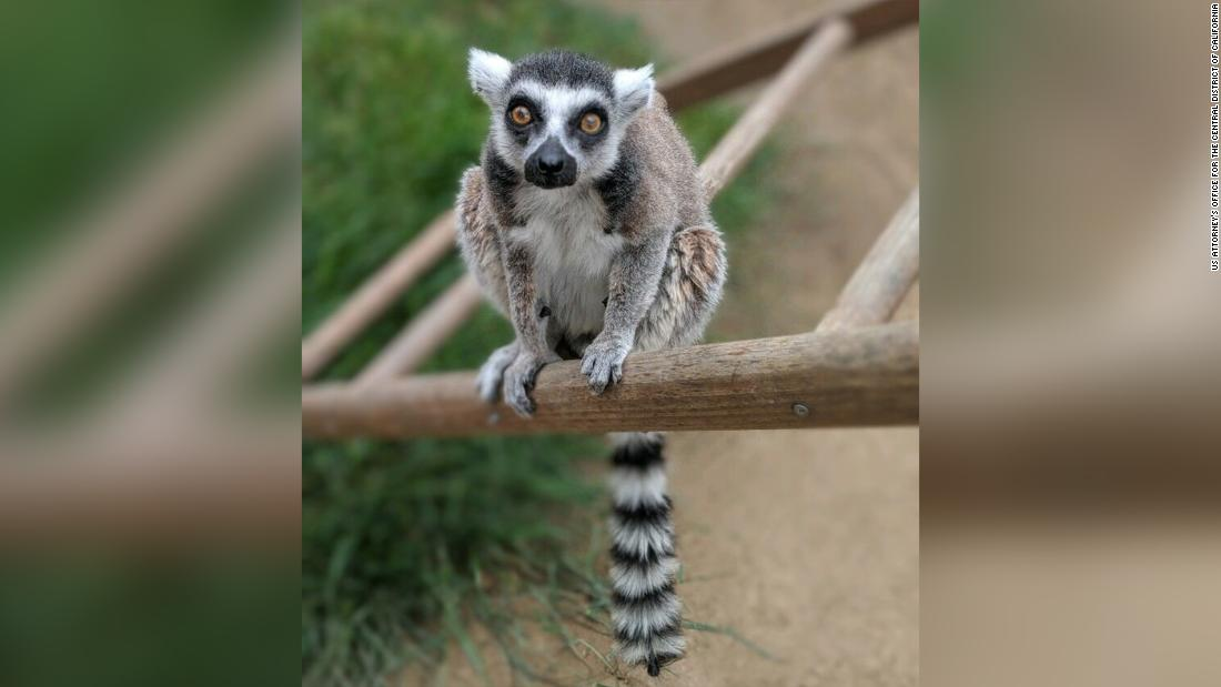 California man to plead guilty to stealing endangered ring-tailed lemur