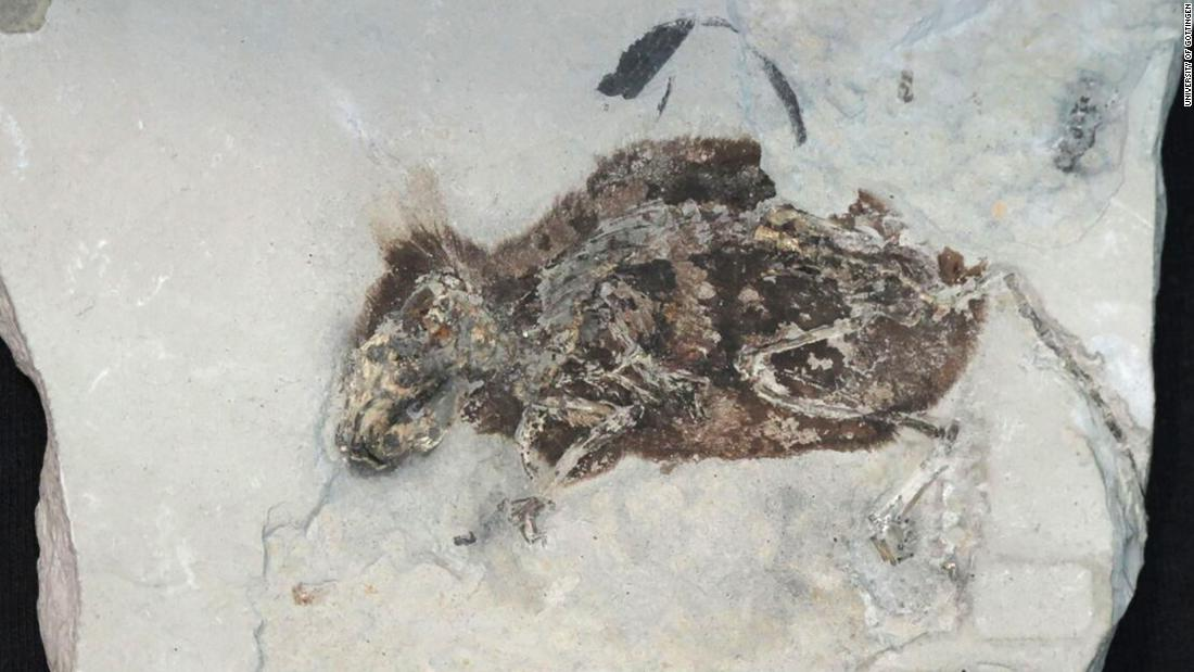The incredibly well-preserved fossil of a 3 million-year-old extinct species of field mouse, found in Germany, which was less than 3 inches long, was found to have red pigment in its fur.