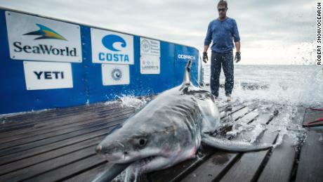 The shark traveled from Nova Scotia to the Gulf of Mexico before returning north.