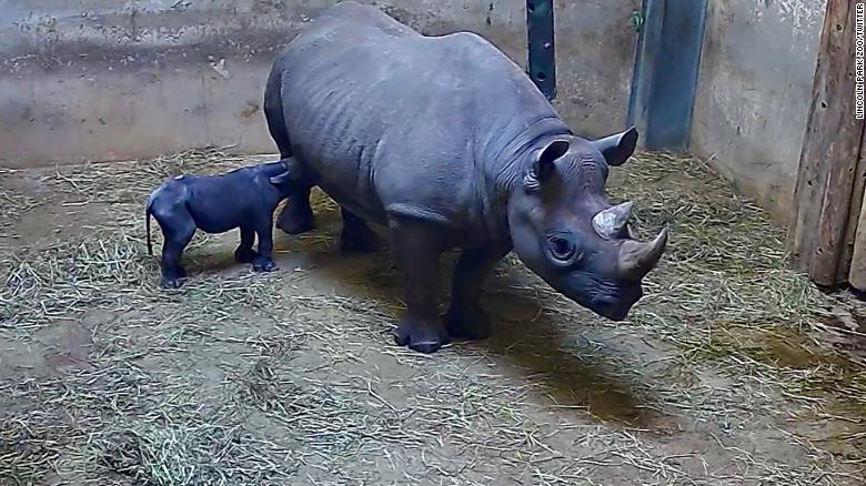 Rare eastern black rhinoceros is born at Chicago's Lincoln Park Zoo