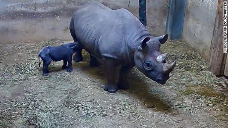 "From Lincoln Park Zoo post on Twitter: ""The calf continues to surpass milestones! Animal care continues to monitor from afar as Kapuki cares for the calf. Since last night, the calf has been observed nursing several times. The first 48 hours of a calf's life are critical and we remain cautiously optimistic. #rhinowatch"""