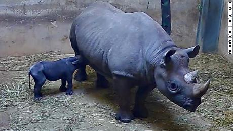 The calf continues to surpass milestones, Lincoln Park Zoo said on Twitter.
