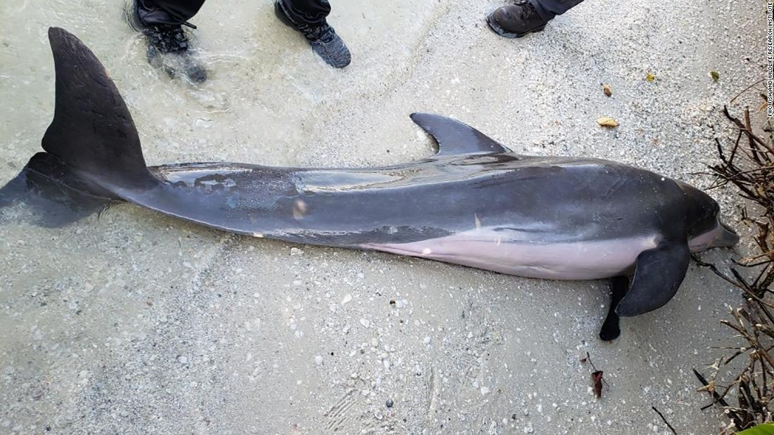 Plastic shower hose pulled from dead dolphin's stomach